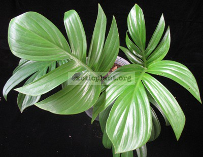 Philodendron sp.(T33) 45