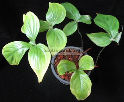 Philodendron sp.(T35) 45
