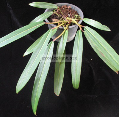 Philodendron sp.(T36) Pig skin 50-70