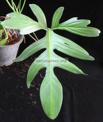 Philodendron squamiferum (green petiole)20