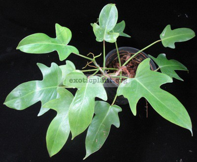 Philodendron squamiferum (small leaf)20