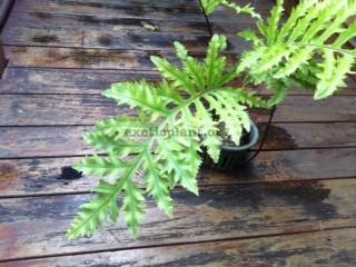 Phlebodium aureum cv. Special Mandaianum 38