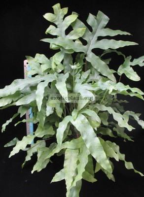 Phlebodium aureum var. undulatum 30