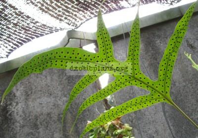 Phymatodes scolopendria(fertile leaf) 20