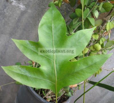Phymatodes scolopendria(sterile leaf) 20