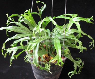 Phymatosorus longissimus  Crestata  44