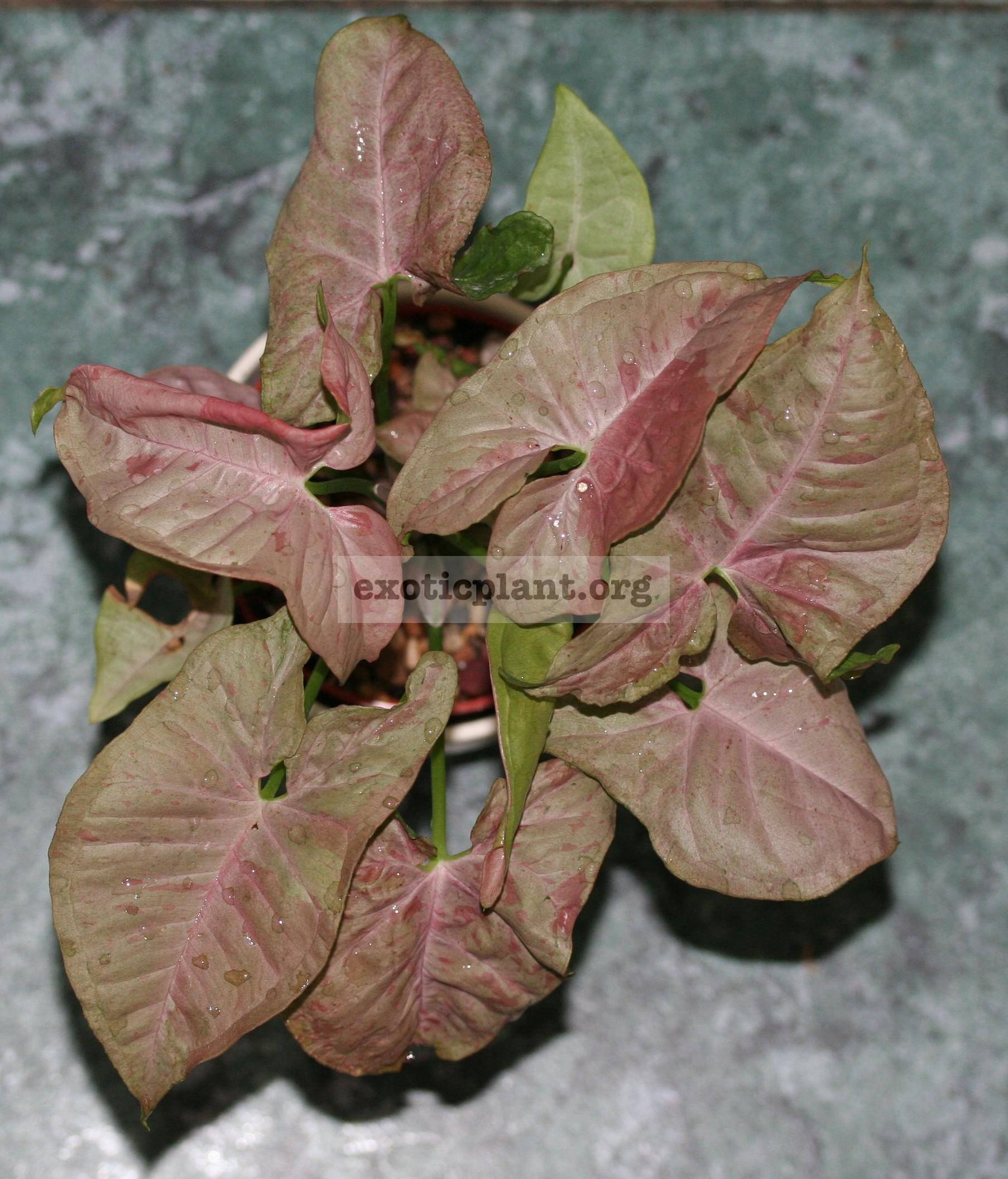 syngonium Pink Spot 7-9