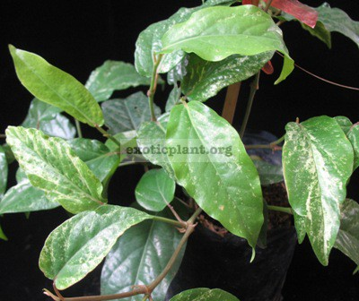 Piper chaba (white variegated) 20