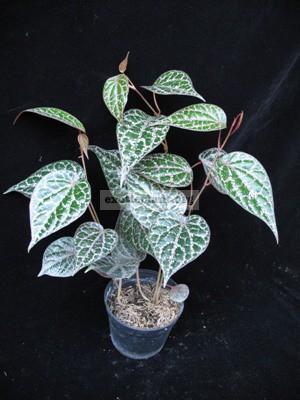 Piper crocatum 20