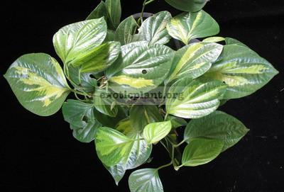 Piper nigrum variegated 27