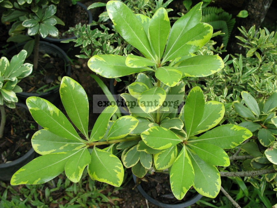 Pittosporum tobira (yellow margin) 20