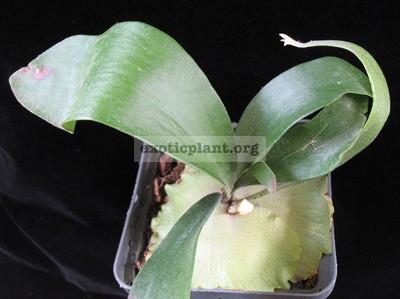 Platycerium Bahia (S) 30