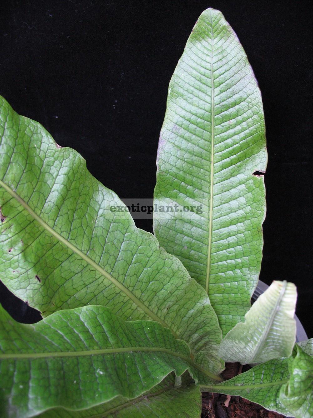 Polypodium musifolium 24