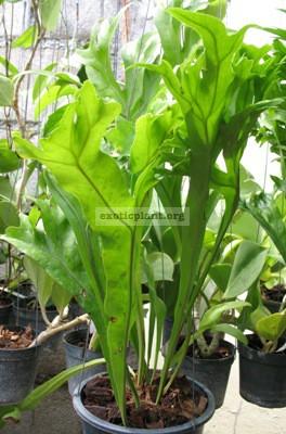 Polypodium polycarpon cv. Grandiceps 20
