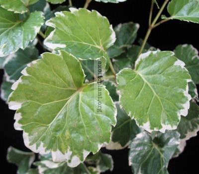 Polyscias 'Marginata' = Polyscias balfouriana variegated 15-20