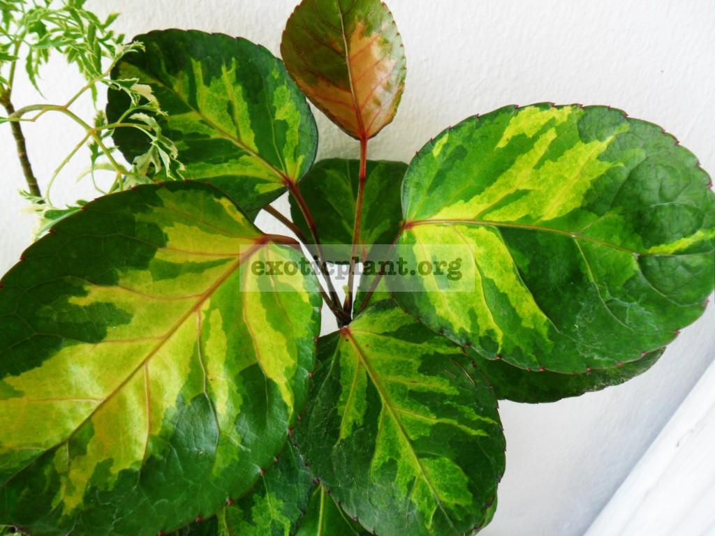 Polyscias balfouriana 'Tricolor Plate' 25-40