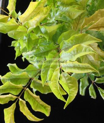 Polyscias filicifolia 'Ornata' 20-30