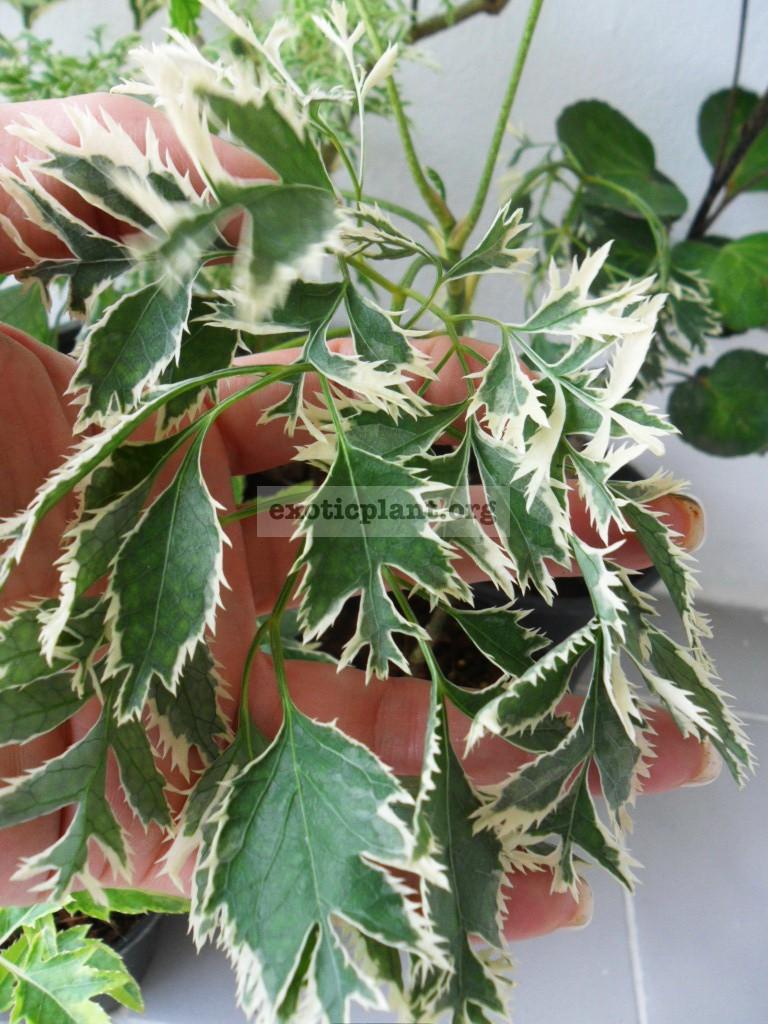 Polyscias fruticosa White Arrow 20-30