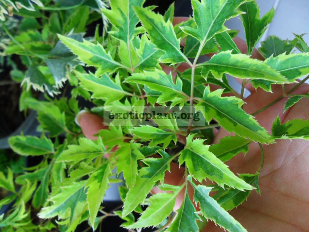 Polyscias fruticosa YellowArrow 20-30
