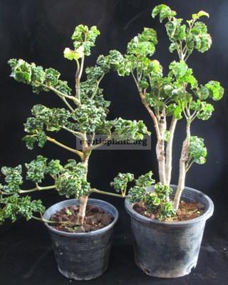 Polyscias guifoylei  Crispa  (Super Curly)(слева) 40