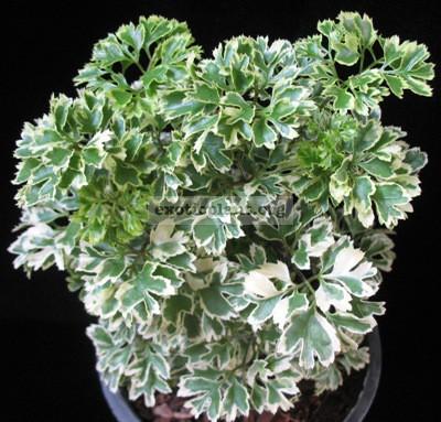 Polyscias guifoylei 'Quinquefolia' mutation 20