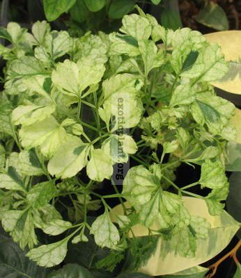 Polyscias guilfoylei (white variegated) 23