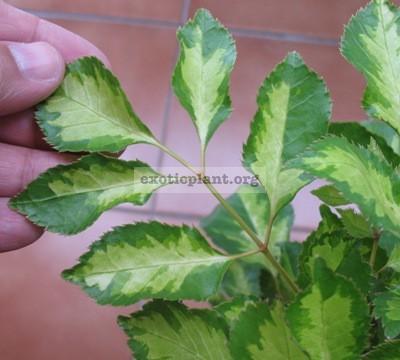 Polyscias paniculata variegata 20-30