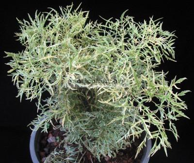 polyscias plumata white variegated 20
