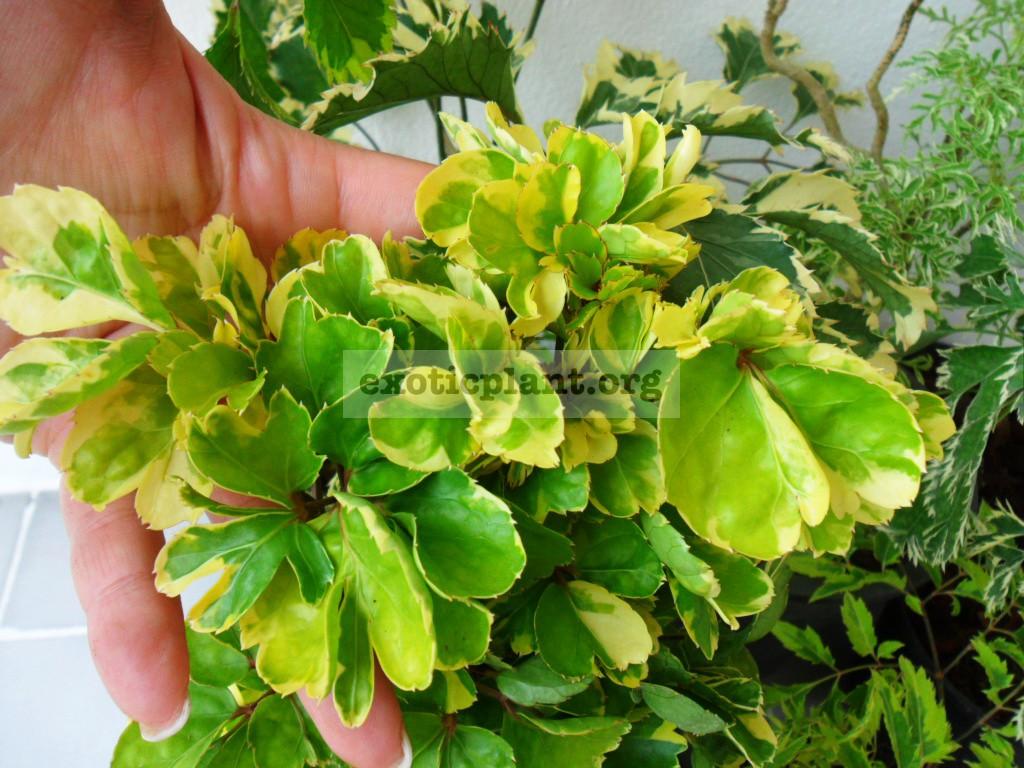 Polyscias sp.(T02) Polyscias scutellaria Yellow Curly 20