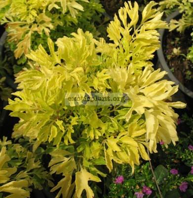 Polyscias sp.(T01) Golden leaf 23-30