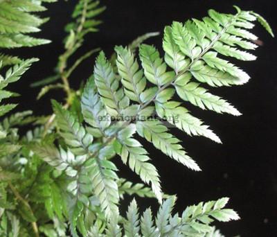 Polystichum tsus-simense 35