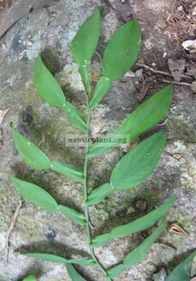 Pothos sp.(T01) Kanchanaburi Thailand 30