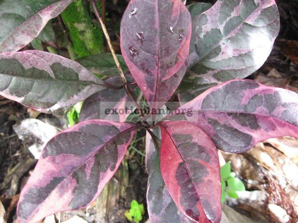 Pseuderanthemum atropurpureum tricolor 12