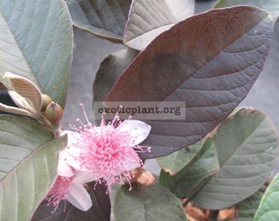 Psidium guajava 'Siam Ruby' (red leaf) 20