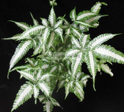pteris blumeana variegata 35