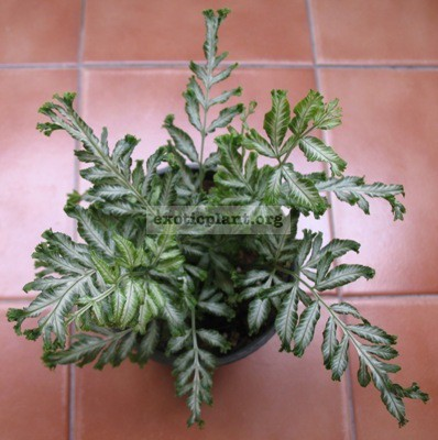 Pteris ensiformis hybrid(T01) 30