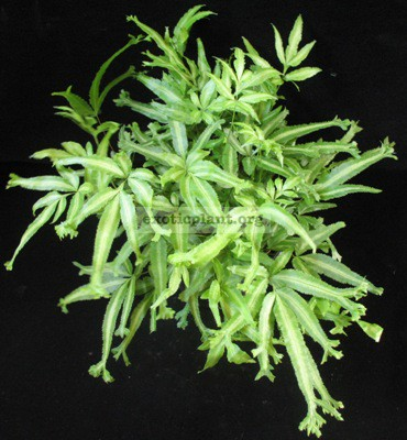 Pteris multifida cv. Crestata variegata 37
