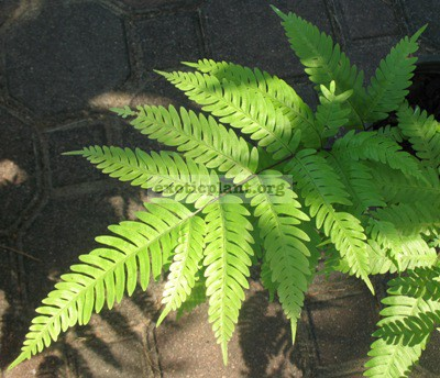 Pteris phuluangensis (southern Thailand) 30