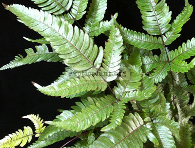 Pteris sp (T03) 23