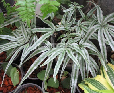 Pteris sp.(T01) 'Silver Star' 47