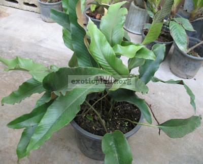 Pyrrosia lingua (short leaf) 23