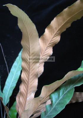 Pyrrosia lingua (long leaf) Prachuap province Thailand 23