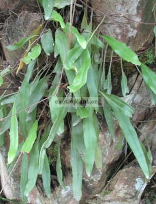 Pyrrosia varia Southern Thailand 24