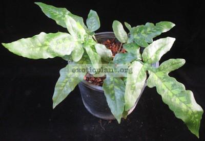 Quercifilix zeylanica(L) 50