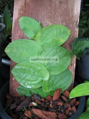 Rhaphidophora celatocaulis 20