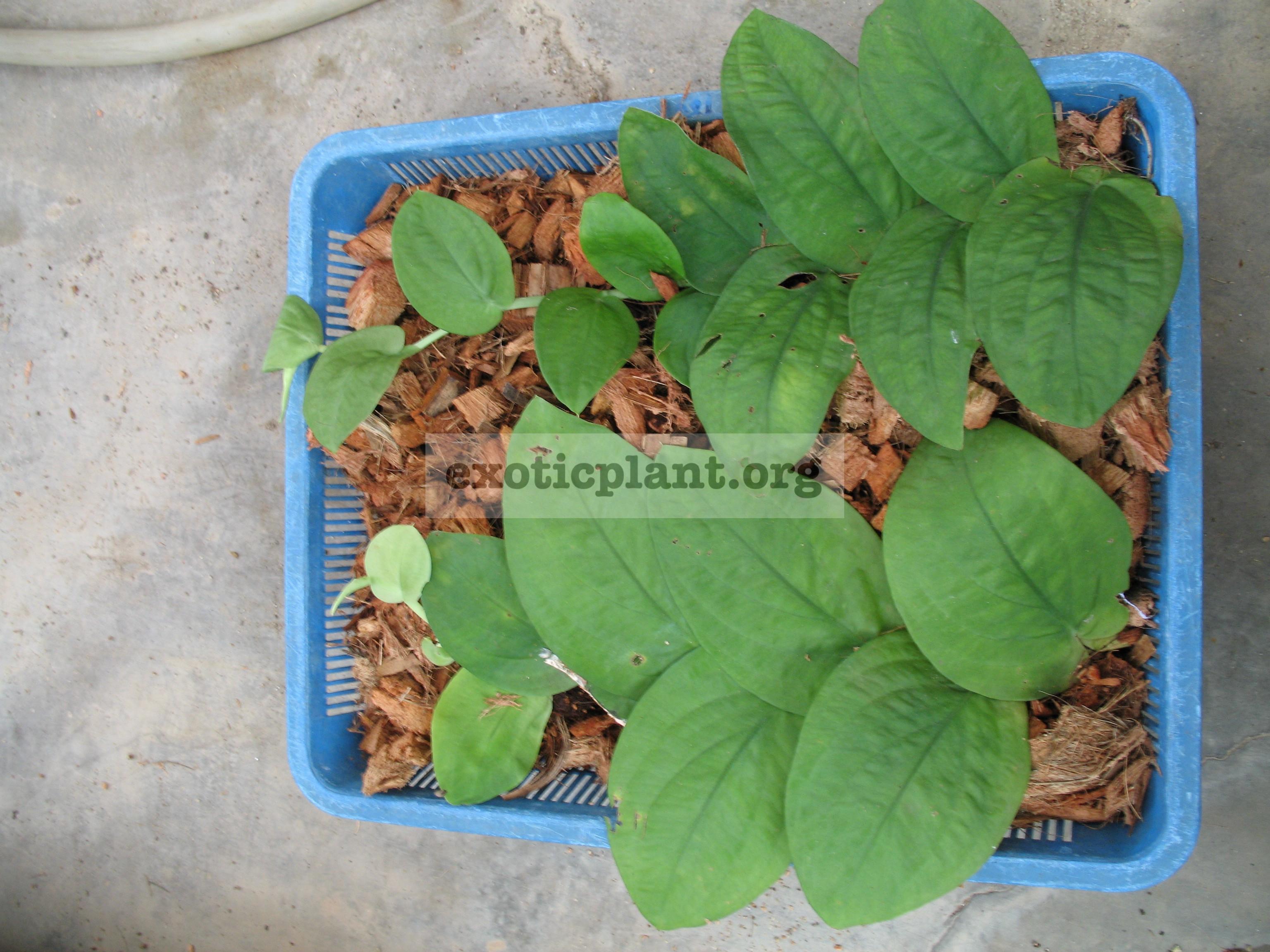 Rhaphidophora celatocaulis (Philippines) 20
