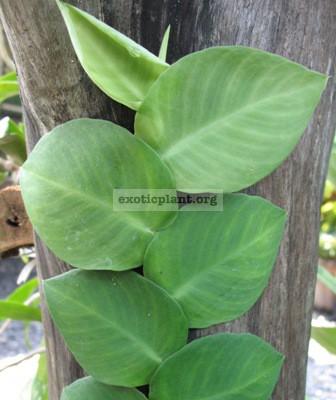 Rhaphidophora sp. Indonesia 20