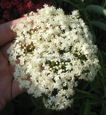 Sambucus simpsonii Caprifoliaceae 23