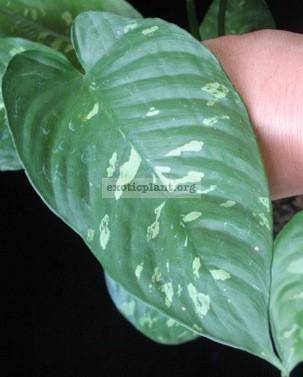 Schismatoglottis neo-guineensis variegata 25