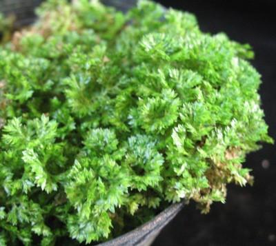 Selaginella apoda 12